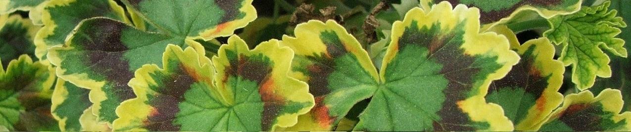 Byliny i pnącza